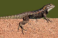 /images/133/2014-06-21-tucson-lizard-1dx_0132.jpg - #11965: Male Desert Spiny Lizard in Tucson … June 2014 -- Tucson, Arizona