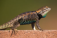 /images/133/2014-06-21-tucson-lizard-1dx_0272.jpg - 11993: Male Desert Spiny Lizard in Tucson … June 2014 -- Tucson, Arizona