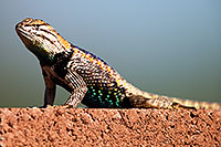 /images/133/2014-06-21-tucson-lizard-1dx_0459.jpg - #11967: Male Desert Spiny Lizard in Tucson … June 2014 -- Tucson, Arizona