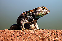 /images/133/2014-06-21-tucson-lizard-1dx_0486.jpg - #11968: Male Desert Spiny Lizard in Tucson … June 2014 -- Tucson, Arizona