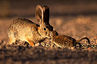 /images/133/2014-06-22-tucson-bunny-1dx_2667.jpg - #11970: Desert Cottontail in Tucson … June 2014 -- Tucson, Arizona