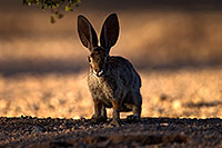 /images/133/2014-06-22-tucson-bunny-1dx_2714.jpg - #11972: Desert Cottontail in Tucson … June 2014 -- Tucson, Arizona