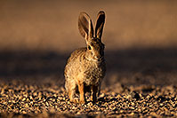 /images/133/2014-06-22-tucson-bunny-1dx_2844.jpg - #11973: Desert Cottontail in Tucson … June 2014 -- Tucson, Arizona