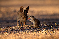 /images/133/2014-06-22-tucson-bunny-1dx_2858.jpg - #11974: Desert Cottontail in Tucson … June 2014 -- Tucson, Arizona