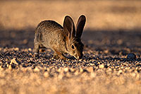 /images/133/2014-06-22-tucson-bunny-1dx_2888.jpg - #11975: Desert Cottontail in Tucson … June 2014 -- Tucson, Arizona