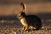 /images/133/2014-06-22-tucson-bunny-1dx_2920.jpg - #11976: Desert Cottontail in Tucson … June 2014 -- Tucson, Arizona