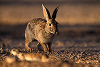 /images/133/2014-06-22-tucson-bunny-1dx_2998.jpg - #11977: Desert Cottontail in Tucson … June 2014 -- Tucson, Arizona