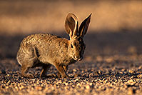 /images/133/2014-06-22-tucson-bunny-1dx_3104.jpg - #11978: Desert Cottontail in Tucson … June 2014 -- Tucson, Arizona