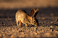 /images/133/2014-06-22-tucson-bunny-1dx_3106.jpg - #11979: Desert Cottontail in Tucson … June 2014 -- Tucson, Arizona