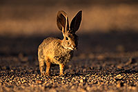 /images/133/2014-06-22-tucson-bunny-1dx_3108.jpg - #11980: Desert Cottontail in Tucson … June 2014 -- Tucson, Arizona