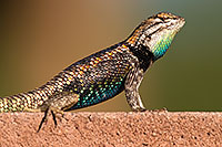 /images/133/2014-06-22-tucson-lizard-1dx_1370.jpg - #11982: Male Desert Spiny Lizard in Tucson … June 2014 -- Tucson, Arizona