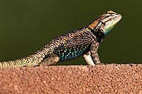 /images/133/2014-06-22-tucson-lizard-1dx_1429.jpg - #11983: Male Desert Spiny Lizard in Tucson … June 2014 -- Tucson, Arizona