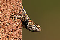 /images/133/2014-06-22-tucson-lizard-1dx_1468.jpg - #11985: Male Desert Spiny Lizard in Tucson … June 2014 -- Tucson, Arizona