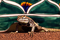 /images/133/2014-06-22-tucson-lizard-1dx_1511.jpg - #11986: Male Desert Spiny Lizard in Tucson … June 2014 -- Tucson, Arizona