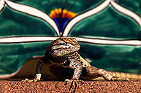 /images/133/2014-06-22-tucson-lizard-1dx_1521.jpg - #11987: Male Desert Spiny Lizard in Tucson … June 2014 -- Tucson, Arizona
