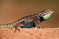/images/133/2014-06-23-tucson-lizard-1dx_3295.jpg - #12003: Male Desert Spiny Lizard in Tucson … June 2014 -- Tucson, Arizona