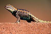 /images/133/2014-06-23-tucson-lizard-1dx_3410.jpg - #12005: Male Desert Spiny Lizard in Tucson … June 2014 -- Tucson, Arizona