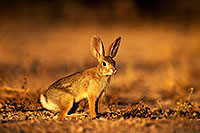 /images/133/2014-06-29-tucson-bunny-1dx_6269.jpg - #12009: Desert Cottontail in Tucson … June 2014 -- Tucson, Arizona