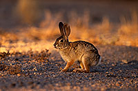 /images/133/2014-06-29-tucson-bunny-1dx_6481.jpg - #12012: Desert Cottontail in Tucson … June 2014 -- Tucson, Arizona
