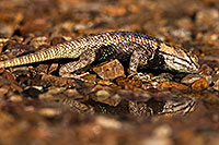 /images/133/2014-06-29-tucson-lizard_1dx_5163.jpg - #12015: Desert Spiny Lizard in Tucson … June 2014 -- Tucson, Arizona