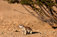 /images/133/2014-07-19-tucson-creatures-1dx_2494.jpg - #12146: Round Tailed Ground Squirrels in Tucson … July 2014 -- Tucson, Arizona