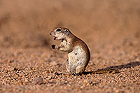 /images/133/2014-07-19-tucson-creatures-1dx_2510.jpg - #12148: Round Tailed Ground Squirrels in Tucson … July 2014 -- Tucson, Arizona