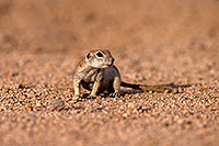 /images/133/2014-07-19-tucson-creatures-1dx_2514.jpg - #12149: Round Tailed Ground Squirrels in Tucson … July 2014 -- Tucson, Arizona
