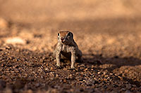 /images/133/2014-07-19-tucson-creatures-1dx_2530.jpg - #12152: Round Tailed Ground Squirrels in Tucson … July 2014 -- Tucson, Arizona
