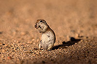 /images/133/2014-07-19-tucson-creatures-1dx_2594.jpg - #12154: Round Tailed Ground Squirrels in Tucson … July 2014 -- Tucson, Arizona