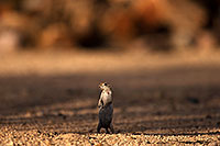 /images/133/2014-07-19-tucson-creatures-1dx_2665.jpg - #12156: Round Tailed Ground Squirrels in Tucson … July 2014 -- Tucson, Arizona