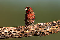/images/133/2014-07-20-tucson-birds-1dx_2755.jpg - #12158: Male House Finch in Tucson … July 2014 -- Tucson, Arizona