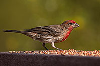 /images/133/2014-07-20-tucson-birds-1dx_2809.jpg - #12161: Male House Finch in Tucson … July 2014 -- Tucson, Arizona