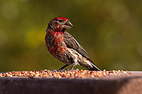 /images/133/2014-07-20-tucson-birds-1dx_2826.jpg - #12162: Male House Finch in Tucson … July 2014 -- Tucson, Arizona