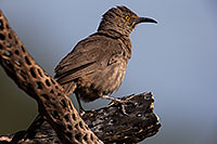 /images/133/2014-07-20-tucson-birds-1dx_2947.jpg - #12165: Curved Bill Thrasher in Tucson … July 2014 -- Tucson, Arizona