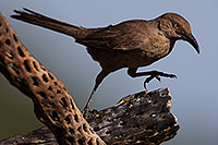 /images/133/2014-07-20-tucson-birds-1dx_2958.jpg - #12166: Curved Bill Thrasher in Tucson … July 2014 -- Tucson, Arizona