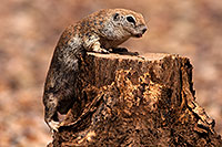 /images/133/2014-07-20-tucson-creatures-1dx_3096.jpg - #12171: Round Tailed Ground Squirrels in Tucson … July 2014 -- Tucson, Arizona