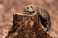 /images/133/2014-07-20-tucson-creatures-1dx_3145.jpg - #12172: Round Tailed Ground Squirrels in Tucson … July 2014 -- Tucson, Arizona