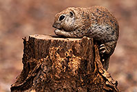 /images/133/2014-07-20-tucson-creatures-1dx_3157.jpg - #12173: Round Tailed Ground Squirrels in Tucson … July 2014 -- Tucson, Arizona