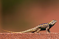 /images/133/2014-07-20-tucson-lizard-1dx_3014.jpg - #12094: Desert Spiny Lizard in Tucson … July 2014 -- Tucson, Arizona