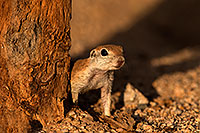 /images/133/2014-07-27-tucson-creatures-1dx_5529.jpg - #12208: Round Tailed Ground Squirrels in Tucson … July 2014 -- Tucson, Arizona