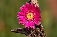 /images/133/2014-07-28-tucson-flowers-1dx_5663.jpg - #12196: Gerbera Daisy flower in Tucson … July 2014 -- Tucson, Arizona