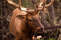 /images/133/2014-08-12-gc-elk-1dx_4286.jpg - #12126: Elk in Grand Canyon … August 2014 -- Grand Canyon, Arizona