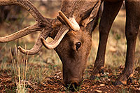 /images/133/2014-08-12-gc-elk-1dx_4307.jpg - #12127: Elk in Grand Canyon … August 2014 -- Grand Canyon, Arizona