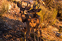 /images/133/2014-08-18-gc-deer-1dx_8218.jpg - #12155: Deer in Grand Canyon … August 2014 -- Grand Canyon, Arizona