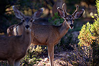 /images/133/2014-08-18-gc-deer-1dx_8276.jpg - #12156: Deer in Grand Canyon … August 2014 -- Grand Canyon, Arizona