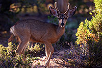 /images/133/2014-08-18-gc-deer-1dx_8290.jpg - #12157: Deer in Grand Canyon … August 2014 -- Grand Canyon, Arizona
