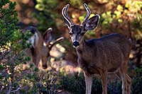 /images/133/2014-08-18-gc-deer-1dx_8324.jpg - #12159: Deer in Grand Canyon … August 2014 -- Grand Canyon, Arizona