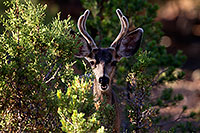 /images/133/2014-08-18-gc-deer-1dx_8350.jpg - #12160: Deer in Grand Canyon … August 2014 -- Grand Canyon, Arizona