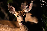 /images/133/2014-08-18-gc-deer-1dx_8567.jpg - #12162: Deer in Grand Canyon … August 2014 -- Grand Canyon, Arizona