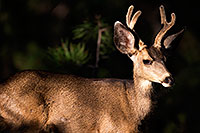 /images/133/2014-08-18-gc-deer-1dx_8913.jpg - 12191: Deer in Grand Canyon … August 2014 -- Grand Canyon, Arizona